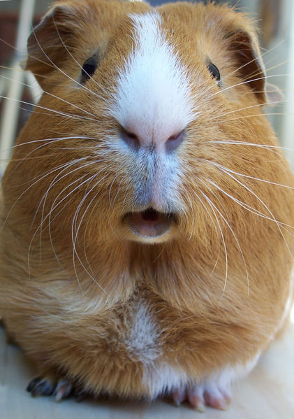 421px-Cavia